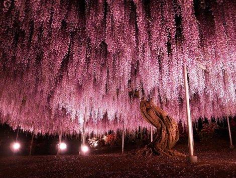 wistera japan